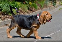 Bloodhound Dark Luna Baskoreta